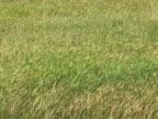 Grass Field in Wind 2 video