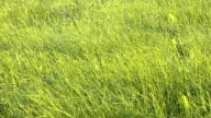 Grass Field Strong Wind video