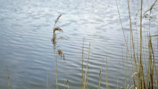 Grass floating in wind, against background of waves of pond. video