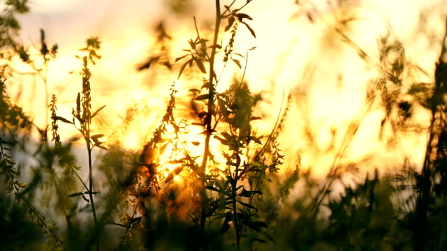 Grass flower at sunset in the field, in the sun video