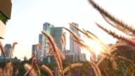 grass flower in bangkok city tower background video