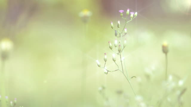 Grass flower on tropical in the morning. video
