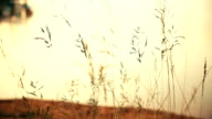 Grass Flower Swaying in the Wind During Sunset video