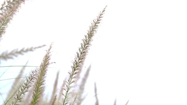 grass flower video
