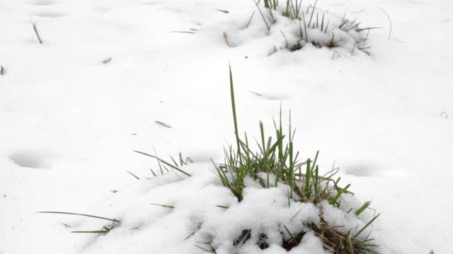 Grass growing out of snow video