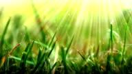 Grass in Sunlight. HD video