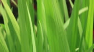 Grass in the Breeze video