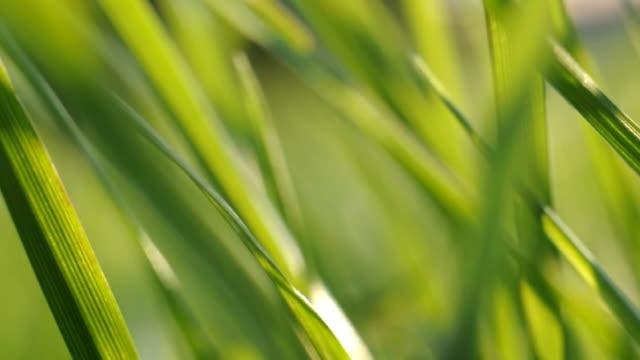Grass in wind video