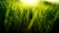 Grass in wind (loopable) video