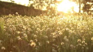 grass 's flower  with sunset video