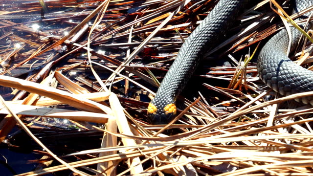 Grass snake in the wild video