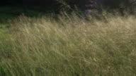 Grass waving on wind video