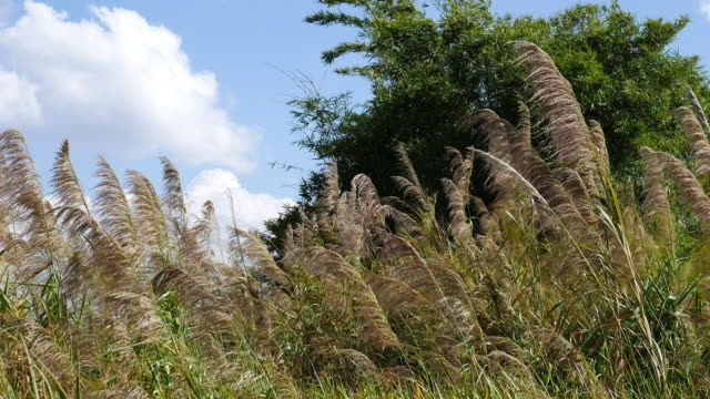 grasses in the wind video
