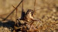 Grasshopper - cannibal video