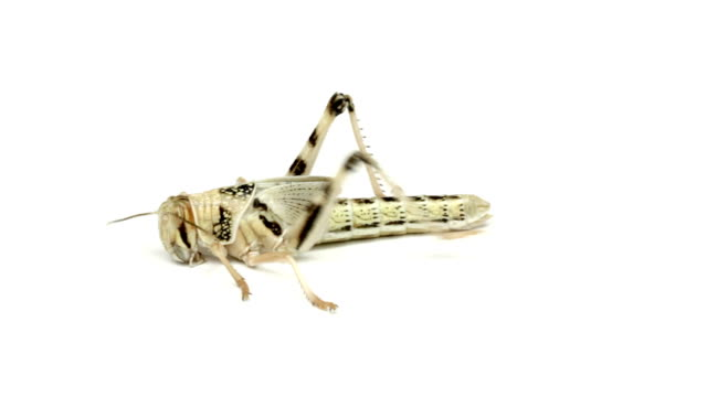 grasshopper close up on white background video