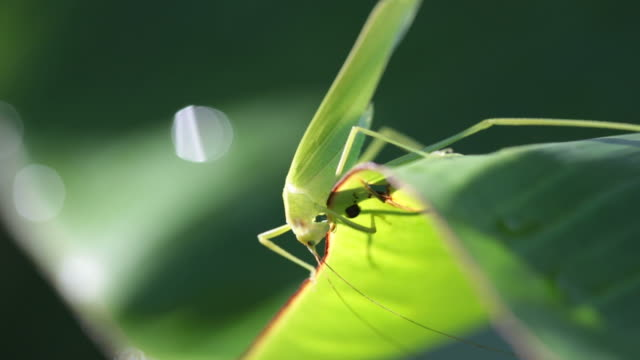 Grasshopper Eating a banana Leaf video