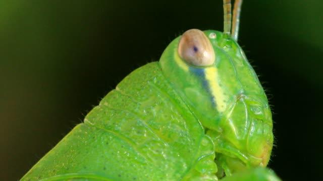 Grasshopper eye video