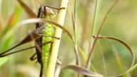 Grasshopper in the grass hold on the Straw video