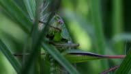Grasshopper in the green grass video