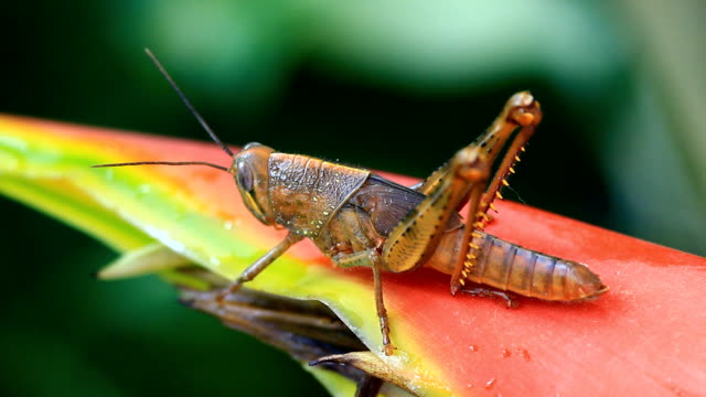 Grasshopper in the red heliconia video