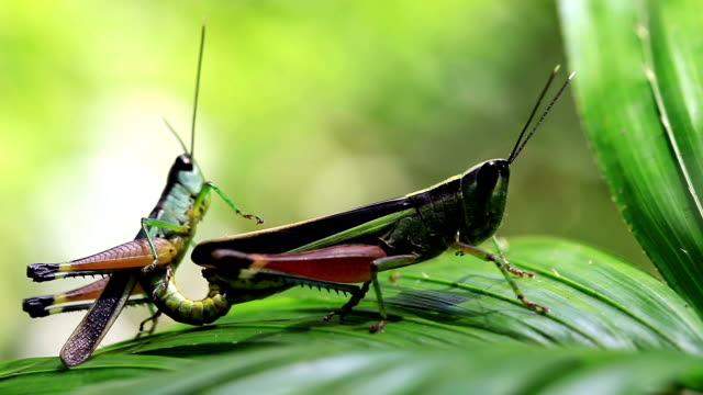 Grasshopper in the wild. video