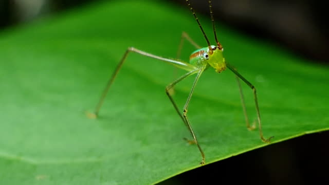 Grasshopper in tropical rain forest. video