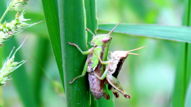 grasshopper mating video