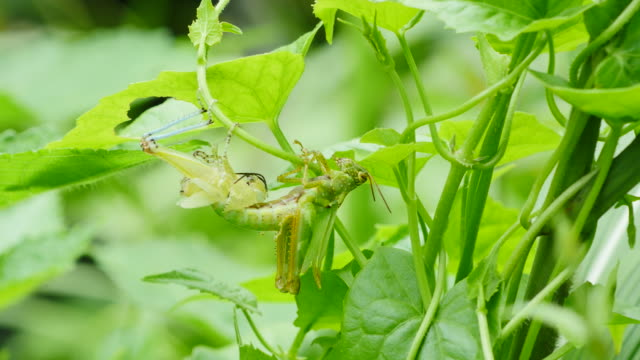 Grasshopper molting in forest, Thailand. video