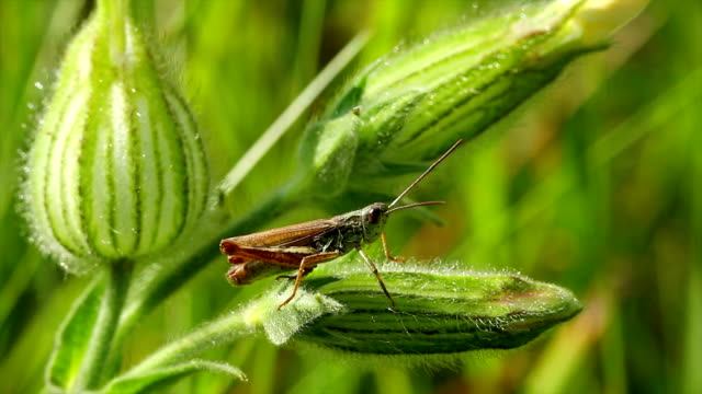 grasshopper on a blade of grass video