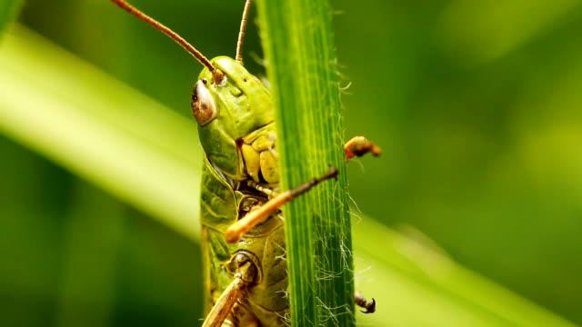 Grasshopper on blade of grass video