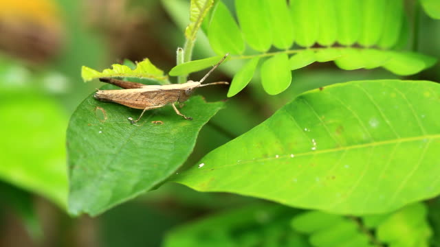 Grasshopper on green leaf video