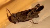 Grasshopper poops video