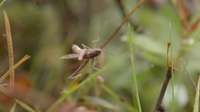 Grasshopper Stuck In A Spiderweb In Slow Motion video