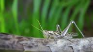 grasshopper video