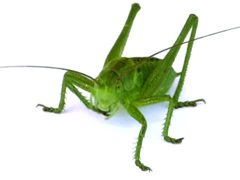 PAL: Grasshopper video
