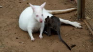 Gray Baby Wallaby Waking Up White Mother Wallaby For Food video