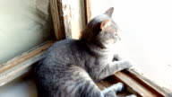Gray british cat lying near the window. Striped, gray cat with yellow eyes sitting on the window video