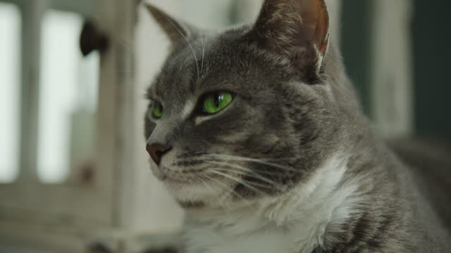 Gray cat green eyes Beautiful Domestic animal Pet sleepy video