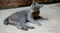 gray cat washes itself video