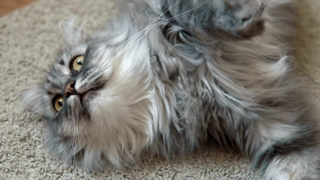 Gray fluffy cat resting on the rug video