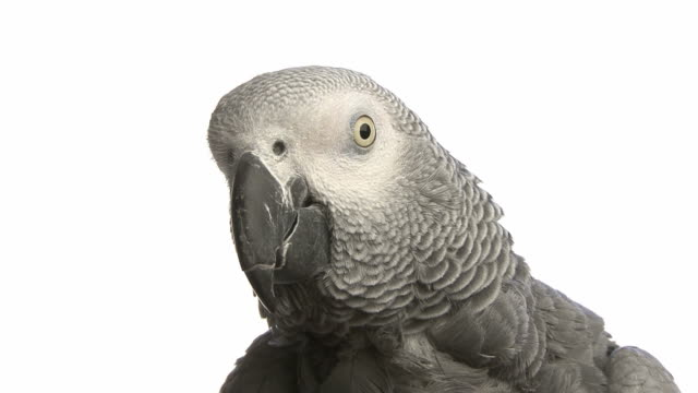 gray Gabon parrot's portrait in front of a white background video