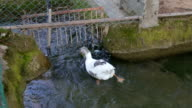 A gray geese floating in the river with pure water video