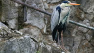 gray heron video