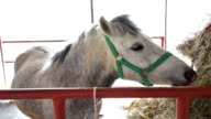 gray horses eating hay in stable video