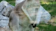 Gray kangaroo eating video