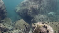 Gray seal swims among underwater rocks in Sea. video