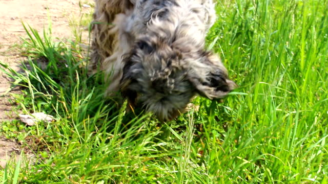 Gray shaggy dog smelling something video