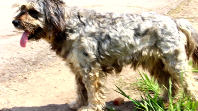 Gray shaggy dog stands at the road video