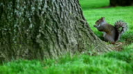 Gray squirrel eating near tree on the green glade video