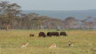 Grazing buffaloes and gazelle video